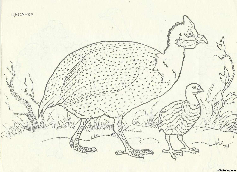 Домашние Птицы Раскраска Для Малышей